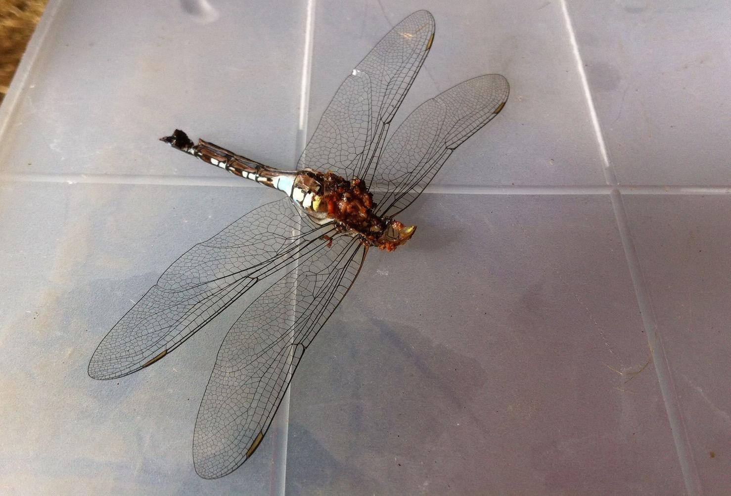 dead dragon fly