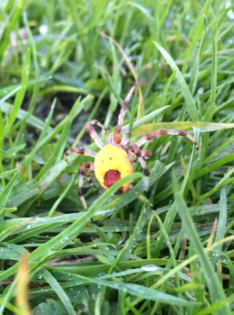 A Marbled Orb Weaver Spider